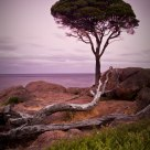 Naturaliste Tree